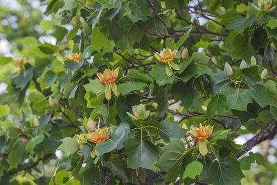 Shade Trees for Your Landscape