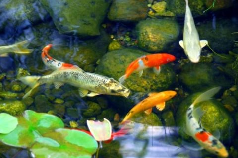 Advantages of Having a Koi Pond by Bellantoni Landscape